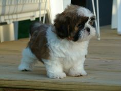 This is what my dog, Oreo looks like. He is a shih tzu. He is black and white. This one black, brown, and white. They are adorable.