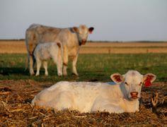 Rennert Ranch calves, photo by Kristian Rennert