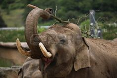 elephant scratching with a stick - Google 検索