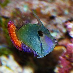 Blackbar Filefish (Pervagor juanthinosoma) Carol A. Underwater Creatures, Underwater Life, Ocean Creatures, Marine Aquarium, Marine Fish, Aquarium Fish, Beautiful Sea Creatures, Animals Beautiful, Life Under The Sea