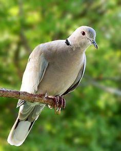 eurasian collared dove - Google Search Spotted one in Livermore California, it's an import but a life bird for me