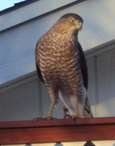 Cooper's Hawk visiting today ...