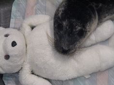 "Rescued seal pup nicknamed Sparky snuggling with her teddy bear (given to her ""for comfort and enrichment."") Aww!"