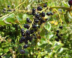 Coriaria arborea  - Tutu (berries)