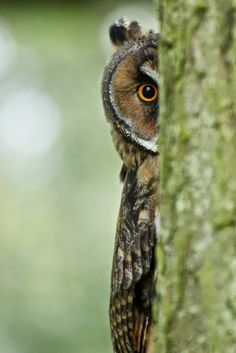 long-eared owl peering from behind a tree | birds of prey + wildlife photography