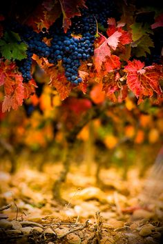Turning Leaves in the Vineyard      Fall Harvest by Ryan Opaz    :) ahhh the nectar of the Gods ♥ I Live to drink Good Wine !
