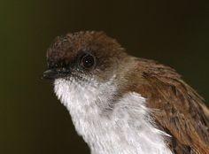 Streak-breasted Jungle Flycatcher(Rhinomyias additus)