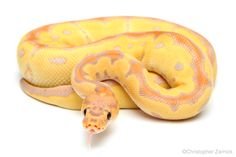 Banana Clown - One of my favorite morphs of all time