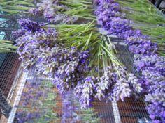 White Hills Lavender and Herb Farm - Dearing, GA
