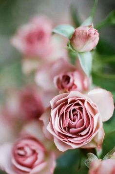 from bud to full bloom, a metaphor for life Love Rose, My Flower, Pretty Flowers, Pink Flowers, Bloom, Coming Up Roses, Colorful Roses, My Secret Garden, Beautiful Roses