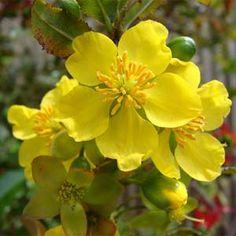 Fotos de flores Ócnas