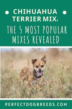Chihuahua terrier mix breed dogs are funny little dogs with very big personalities. Perfect Dog Breeds explores and reveals the five top mixes so that you can understand which one will fit into your family the best. Check out this post now for more information. #chihuahuaterriermix #bestmixbreeds #mixbreeddogs #bestmixdogbreed