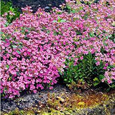 Sonnenhüte Fingerhut winterfeste Stauden Phlox // Flammenblume Duft 7 Stk