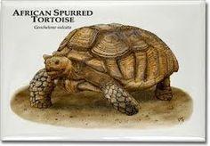 Sulcata Tortoise - Facts and Information - Sulcata Tortoise
