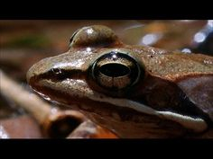 Time-lapse video of a wood frog (Rana sylvatica) thawing at 4°C following an experimental freezing exposure to --2°C for 24 h. The original Commentary paper ...