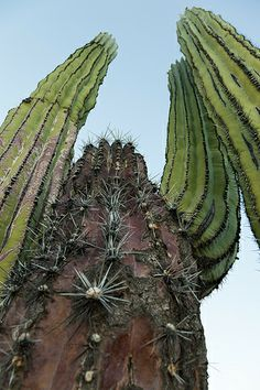 Cardón (Pachycereus pringlei), Catavina Boulderfield - Baja California, Mexico