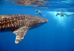Scuba Diving around Utila Honduras with the Whale Sharks.
