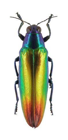 Chrysochroa kraussei