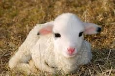 lamb ~ key symbol of Easter in Ireland Lamb Pictures, Animal Pictures, Young Ones Of Animals, Beautiful Creatures, Animals Beautiful, Baby Animals, Cute Animals, Easter Lamb, Easter Eggs