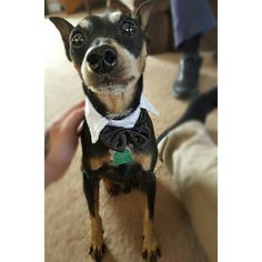 I bought my Spencer a bow tie cause hes a classy man like me. #minipin #miniaturepinscher #dogsofinstagram #dogsofig #dogstagram #doggy #dogs #dogbowtie #dogs_of_instagram by mthrfknmike