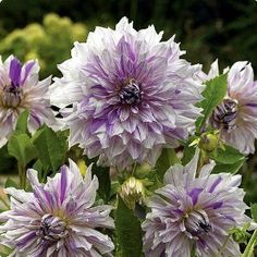 "Mom's Special Dinnerplate Dahlia - 2 Tubers- Lavender! by Hirts: Dahlia. $9.99. Blooms August until Frost in the fall.. Decorative. Dinner Plate. Uniquely shaped, white with soft lavender streaks. 8-10"" flowers.. Height: 36-48"". Loves the sun.. Immediate Shipping. #1 size tubers. Hardy in zones 8-10, elsewhere dig and store in the winter.. DAHLIA: The word dahlia means ""plant with tube- like stems"". With a blast of different colors, shapes and sizes, Dahlias bring life ..."