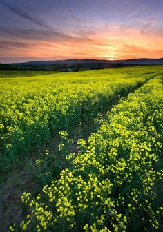 "500px / Photo ""Rapeseed Sunset"" by Stephen Emerson"