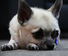 16 Things All Chihuahua Owners Must Never Forget Chihuahua Puppies For Sale, Cute Chihuahua, Cute Puppies, Dogs And Puppies, Doggies, Big Animals, How To Show Love, Pet Store, Mans Best Friend