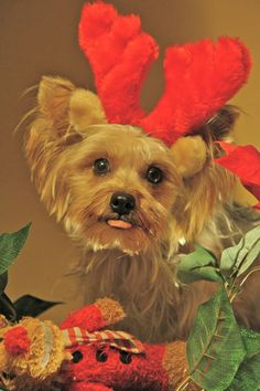 yorkieimage with sunglasses - Google Search