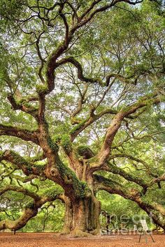 The Angel Oak Tree, located in Angel Oak Park on Johns Island near Charleston, South Carolina. The Angel Oak Tree is said to be over 1500 years old and produces shade that covers over square feet. Johns Island Sc, Angel Oak Trees, Tree Angel, Unique Trees, Old Trees, Old Oak Tree, Tree Forest, Forest Flowers, Nature Tree