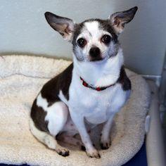 Romeo - SPCA of Texas (McKinney)