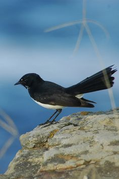 Click here for information on this Native Willie Wagtail. You can buy handmade greeting cards with this photo for just $4.50 delivered. www.theshortcollection.com.au/Australian-Birds