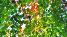 Please enjoy the changing colors of autumn leaves