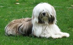 14 month old Tibetan Terrier, Lucy . with a few leaves stuck in her moustache. Cute Puppies, Cute Dogs, Terrier Dogs, Terriers, Kids Braces, Tibetan Terrier, Afghan Hound, All Dogs, Animals And Pets
