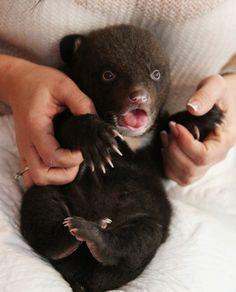 Новорожденный гималайский медвежонок, обнаруженный в картонной коробке у входа в здание Владивостокского цирка в ночь с 23 на 24 февраля. newborm himalaian bear