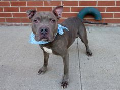 SAFE --- Brooklyn Center   TYSON - A1018464 **AVERAGE HOME**  MALE, GR BRINDLE / WHITE, STAFFORDSHIRE MIX, 5 yrs OWNER SUR - EVALUATE, NO HOLD Reason MOVE2PRIVA  Intake condition EXAM REQ Intake Date 10/23/2014, From NY 11237, DueOut Date 10/23/2014,  https://www.facebook.com/photo.php?fbid=894322513913962
