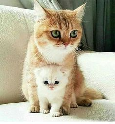 Ginger mommy with baby marshmallow Pet Accessories, Dog Toys, Cat Toys, Pet Tric. - Baby animals with their mother - Chat Kittens And Puppies, Cute Cats And Kittens, I Love Cats, Crazy Cats, Kittens Cutest, Kitty Cats, Siamese Cats, Beautiful Cats, Animals Beautiful