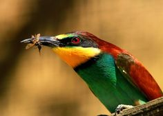 Bee-eater with his bees catch by Rainer Leiss Cool Pictures, Funny Pictures, Bee Eater, Bird Wings, Kinds Of Birds, Stunning Photography, Save The Bees, Animals, Hunters