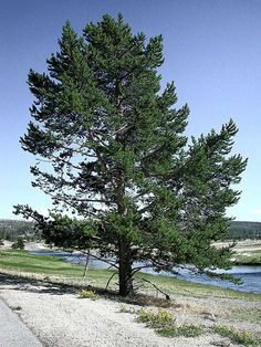 trees | pine tree pictures images of pine trees pines more pine trees