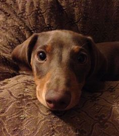 That lovable Doxie face!!!