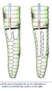 ball python morph chart breeding - Google Search