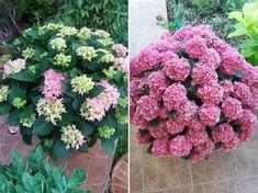 Így lehet virágözön a hortenzián Creative Landscape, Geraniums, Plants, Gardens, Outdoor Gardens, Plant, Garden, House Gardens, Planets