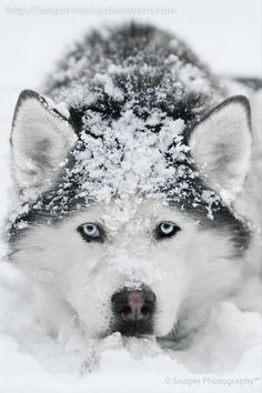 Siberian Husky ~ Huskies are very energetic, and resilient breed who ancestors come from a very cold and harsh environment of the Siberian Arctic.