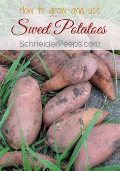 Growing sweet potatoes is a great way to fill your root cellar for the winter. Sweet potatoes are a warm weather vegetable and need about 100 frost free days and they have very little pest pressure. Learn how to grow and use sweet potatoes in this post.: