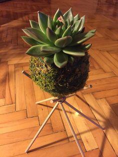 Our studio ... Succulent kokedama