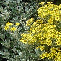 166 best sc garden images on pinterest flowering bushes flowering brachyglottis sunshine purchased as senecio greyi apparently there was a recent name change is an evergreen shrub with silver felted leaves and yellow mightylinksfo