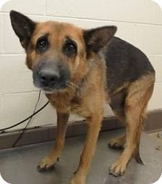 URGENT! Kill shelter! German Shepherd for adoption in Apple Valley, California - Cri-kee #161056. NO LONGER AVAILABLE
