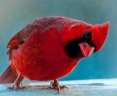 Just love Cardinals Pretty Birds, Love Birds, Beautiful Birds, Animals Beautiful, Animals And Pets, Cute Animals, Cardinal Birds, Bird Pictures, Cardinal Pictures