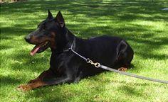 Doberman Puppies For Sale Australia