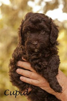 I just want an Australian Labradoodle and name is something even half as cute as Cupid