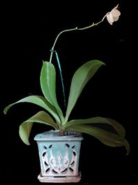Unlike many other orchids, Phalaenopsis can be repotted anytime, though it is usually best to do so when not in bloom.